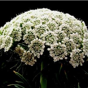 Ammi Visnaga flowers