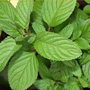Bergamot Mint leaves