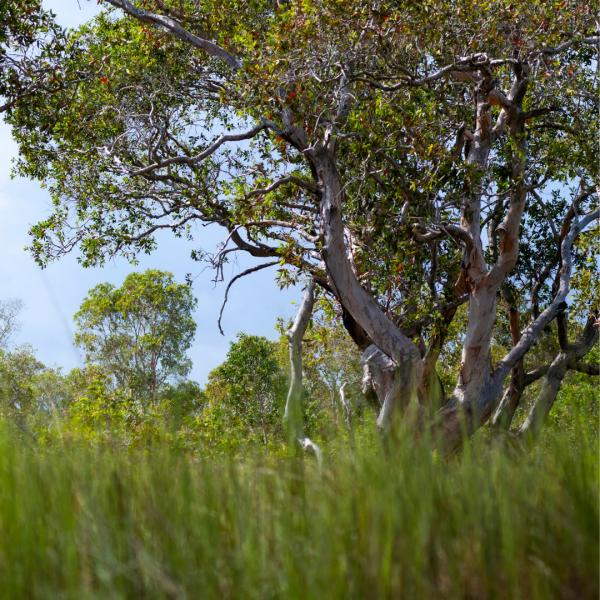 Cajeput tree