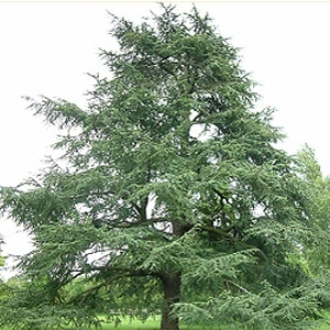 Cedarwood Atlas tree