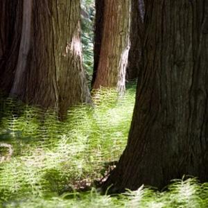 Himalayan Cedarwood trees